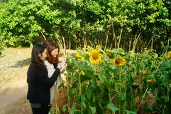 Shenzhen, China: Sunflower Garden, attracting people to watch. Spring, Sunflower Garden, attracts people to watch, on the south side of Shenzhen civic center Stock Photography