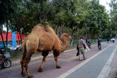 Shenzhen china: walking the streets of camel Stock Photos