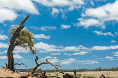 Sheoak on The Hill Stock Photography