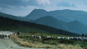 Shepard и табун ринва овец идущего зеленое поле видеоматериал