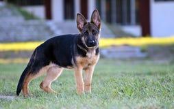 shepard немца собаки Стоковая Фотография RF