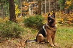 Shepard alemão na madeira do outono Fotografia de Stock