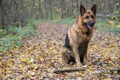 Shepard allemand Photographie stock