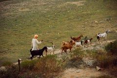 Shepard con sus cabras como se ve en la India cerca de Taj Mahal fotografía de archivo libre de regalías