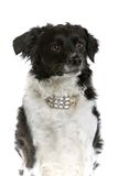 Shepard dog with fancy collar Royalty Free Stock Photos