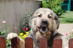 Shepard dog Royalty Free Stock Photos