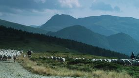 Shepard and herd of sheep running trough a green field stock footage