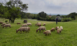 Shepard with his sheep grazing Stock Photography