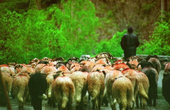 Shepard Leads a Flock of Sheep. A view of a shepard leading a flock of trusting sheep along a wooded path Royalty Free Stock Photos
