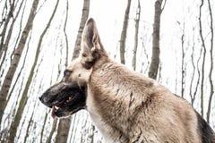Shepard pies w lasów spojrzeniach jak wilk Obraz Royalty Free