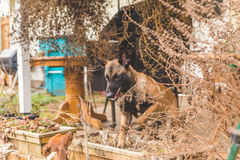 Shepard Puppy and Dachsund Playing Outside Royalty Free Stock Photography