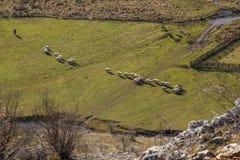 Shepard und Schafe Stockbilder