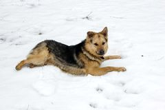 Shepard young dog is lying on a snow outdoor in February 2019. Shepard dog is looking down and waiting for her master in snow and ice day in village in Latvia royalty free stock photo