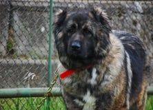 sheperd портрета собаки Стоковое фото RF