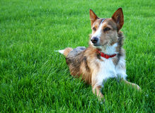 Sheperd dog. Dog on a green meadow Royalty Free Stock Photo