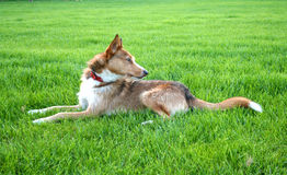 Sheperd dog. Dog on a green meadow Stock Image