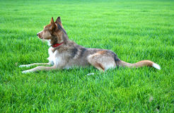 Sheperd dog. Dog on a green meadow Stock Photos