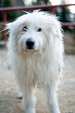 Sheperd dog posing Royalty Free Stock Images