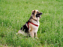 Shepherd dog posing. Mixed race German shepherd dog posing for camera sitting in a clover field Stock Photos