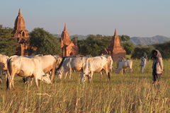 Sheperd joven en el campo de Bagan con las pagodas Imagen de archivo