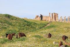 Sheperd odprowadzenie wśród ruin antyczny Jerash Obraz Stock