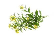Sheperd's purse (Capsella bursa-pastoris) medicinal plant isolat. Ed on white Royalty Free Stock Photography