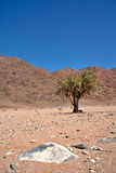 Sheperd's Tree in Richtersveld Stock Photography