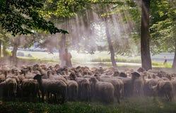 Sheperd & sheeps. Near Cluj-Napoca city Royalty Free Stock Image