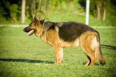 Shephard. Beauty shepherd - german dog on grass Stock Photos