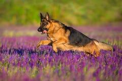 Shephard dog run. Fast in violet flowers stock images