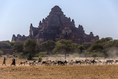 Goat Herd & Dhammayangyi Temple - Bagan - Myanmar Royalty Free Stock Photography