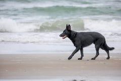 Shephard walking along the surf royalty free stock photo