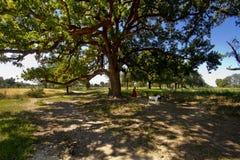 A shephed dame in Grote dichte mangobomen in landbouwbedrijven royalty-vrije stock afbeeldingen