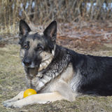 Shepher dog and a ball Royalty Free Stock Photography