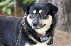 Shepherd австралийским смешанная кэльпи собака породы снаружи на красном поводке с воротником удара стоковое фото rf