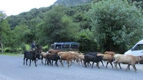 Shepherd верхом управлять табуном скотин на сельской дороге Стоковые Изображения
