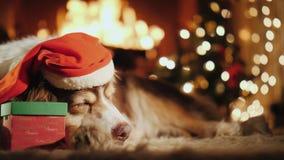 Shepherd в праздничной крышке сладостно дремая горящим камином Около ее лежит корка с подарком стоковая фотография