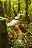 Shepherd звероловство щенка для птицы в лесе лета Стоковое Изображение