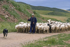 Shepherd с стадом овец в естественном ландшафте стоковая фотография rf