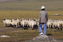 Shepherd. A Tibetan shepherd overlooking his flock of sheep Stock Image