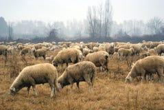 Shepherd Stock Images