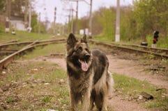 shepherd Fotografia de Stock