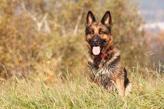 Shepherd Ambra. German Shepherd named Ambra on grass royalty free stock images