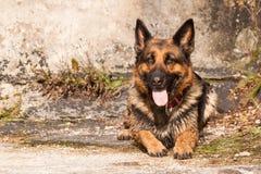 Shepherd Ambra. German Shepherd named Ambra on old build royalty free stock images