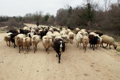Shepherd And Sheeps Royalty Free Stock Photography