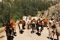 Shepherd avec ses vaches dans les montagnes en vallée de coup Photographie stock
