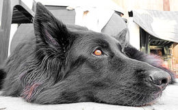 shepherd belgijska Zdjęcia Stock
