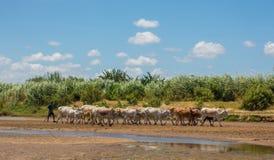 Giriama shepherd wih cows at Galana river bank Stock Images