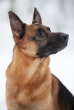 Shepherd breed dog sitting and looking somewhere Royalty Free Stock Photos