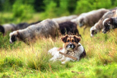 Shepherd Royalty Free Stock Images